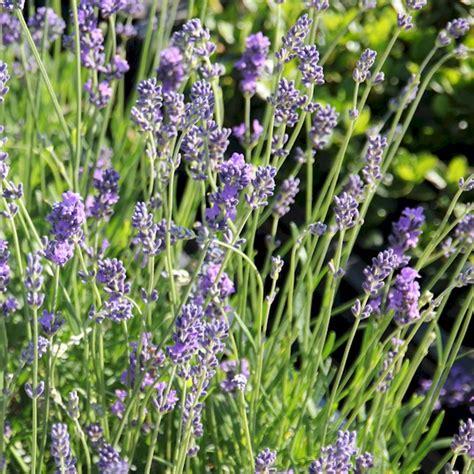 lavandula angustifolia pflege 3343 lavandula angustifolia pflege lavendel pflege lavendel