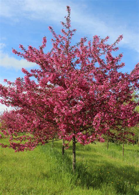 trees we love crabapple shade tree farm