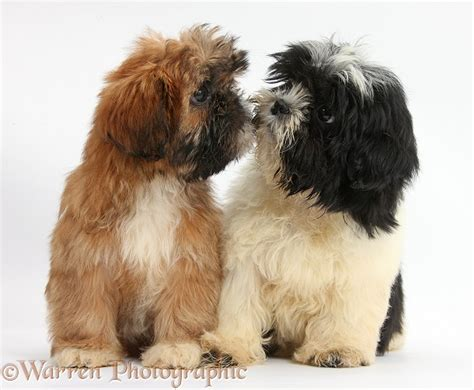 shih tzu puppies black and brown dogs brown and black and white shih tzu puppies photo wp38225