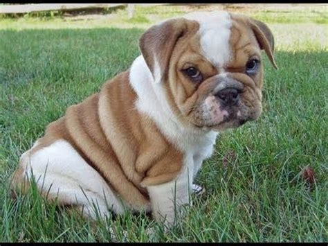 olde bulldog puppies olde bulldog puppies dogs for sale in jacksonville florida fl