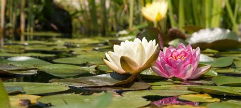 aquascape ottawa uncategorized 171 the pond clinic water garden centre
