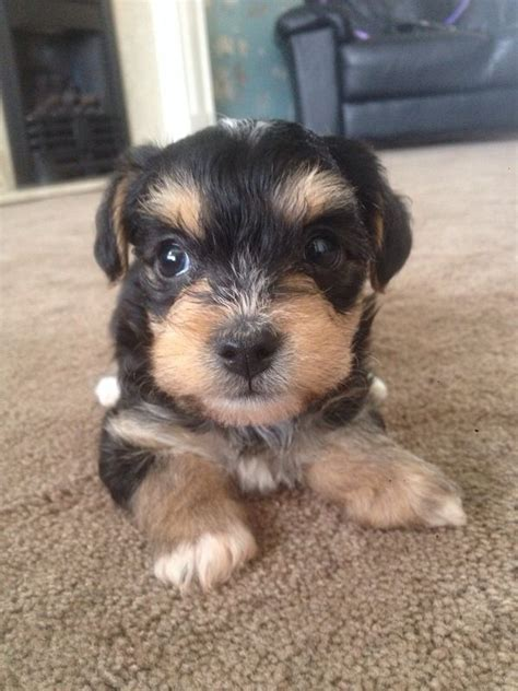 borkie puppies bichon yorkie cross borkie oldbury west midlands pets4homes