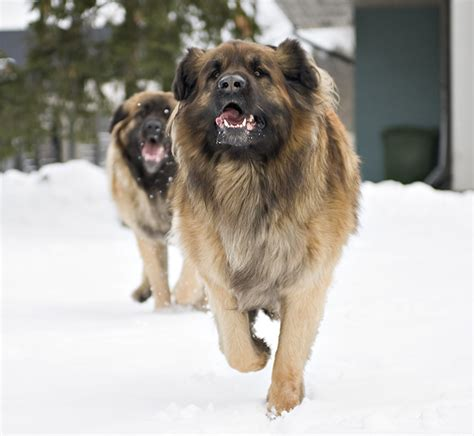 leonberger dogs leonberger breed information pictures characteristics facts dogtime
