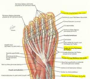 localisation des muscles les uns par rapport aux autres