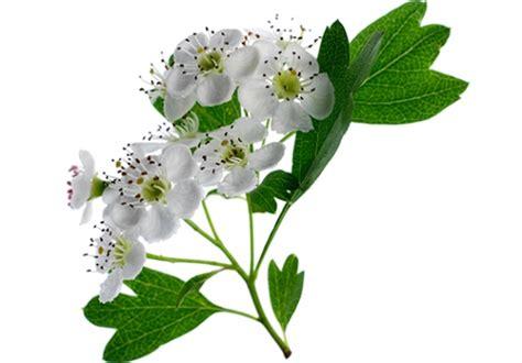 biancospino fiori le piante medicinali di aboca aboca