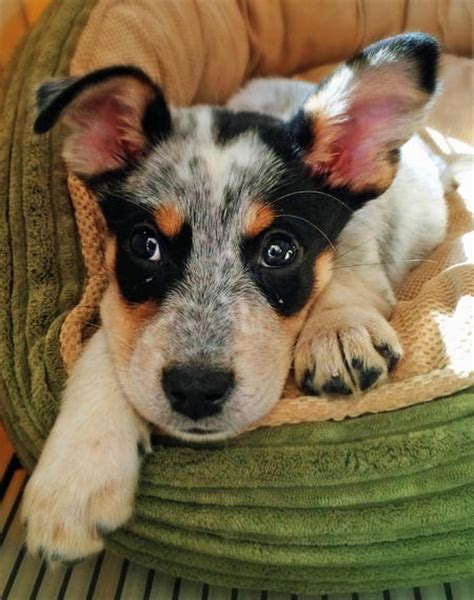 heeler mix puppies blue heeler mix puppies for breeds picture