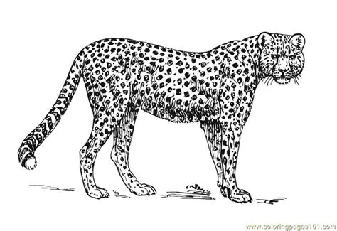cheetah coloring page free printable coloring pages