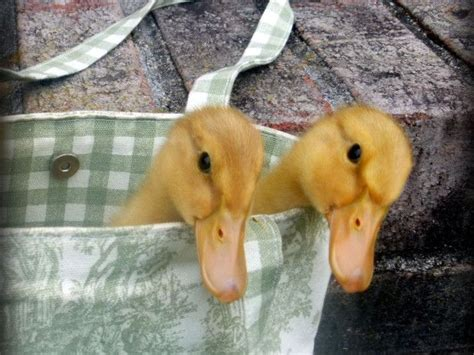 raising backyard ducks 1000 ideas about backyard ducks on pinterest raising