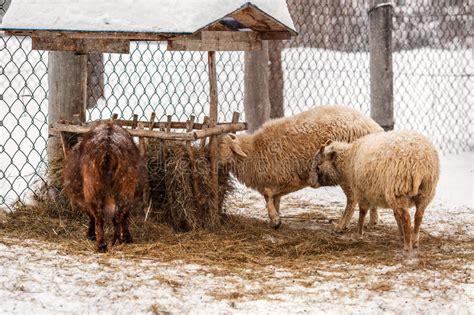 alimentazione pecore alimentazione delle pecore sull azienda agricola in russia