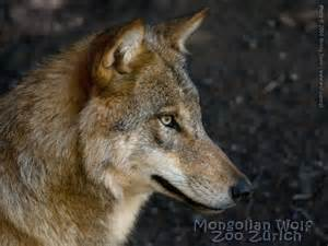 real wolf head profile