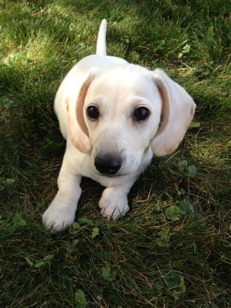 white dachshund puppies white dachshund pup ween