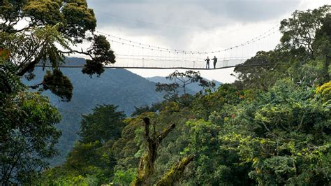 nyungwe forest gorillatimes activities rwanda nyungwe forest chimpanzees canopy walk