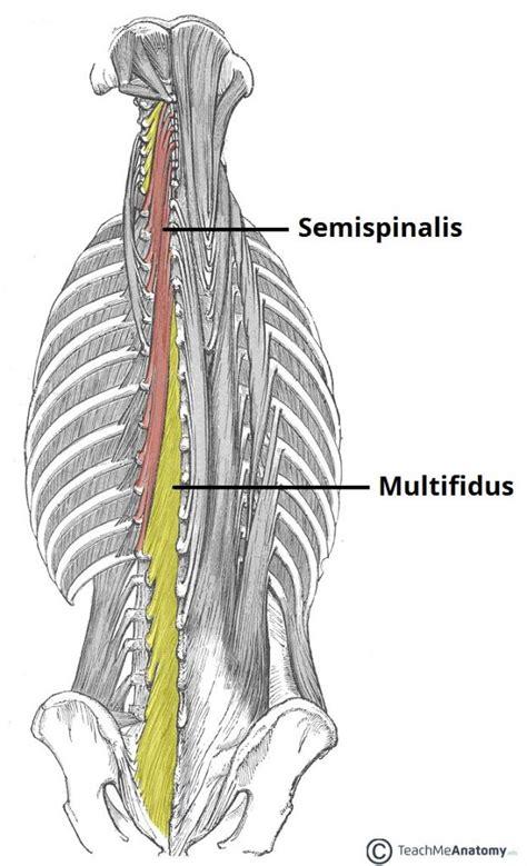 muscles of the back teachmeanatomy