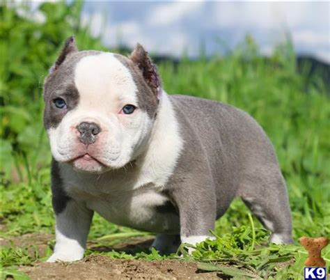 micro pitbull puppies for sale american pit bull puppy for sale caspere micro pocket bully