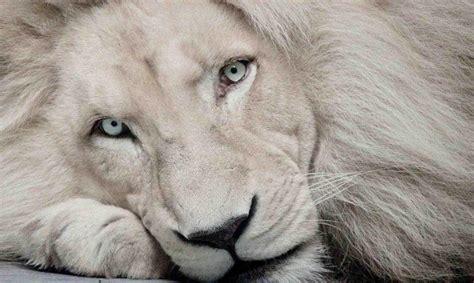 imagenes de leones gratis las mejores fotos de leones leon blanco haciendofotos com