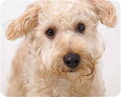 yorkie rescue massachusetts teddy adopted sudbury ma poodle miniature yorkie terrier mix