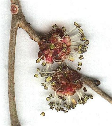 fiori ermafroditi olmo cestre