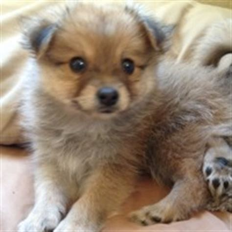 pomimo puppies pomimo american eskimo pomeranian mix info and pictures