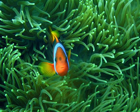 Bunga Mawar Spons Besar Per Biji ikan hias iriany s