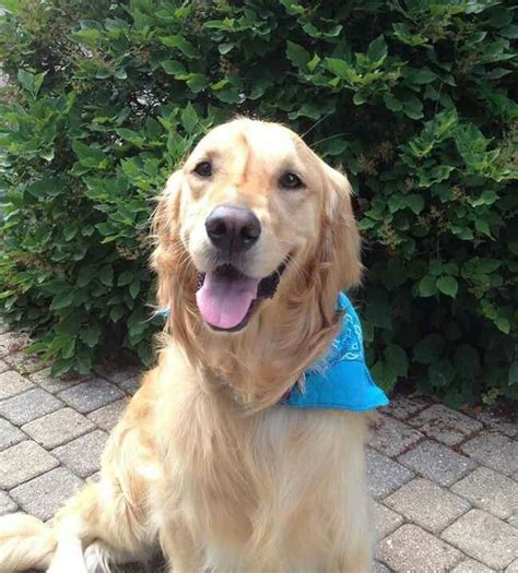 k9 comfort dogs 1000 images about service dogs on pinterest