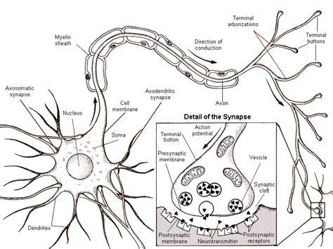 neuron diagram labeled neuron diagram labeled synapse