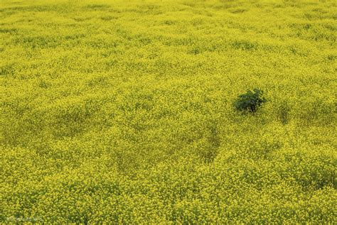 Crop Flower Oc yellow flower fields in orange county thin