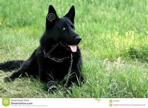 belgian shepherd 5 months black dog stock images image 2425504