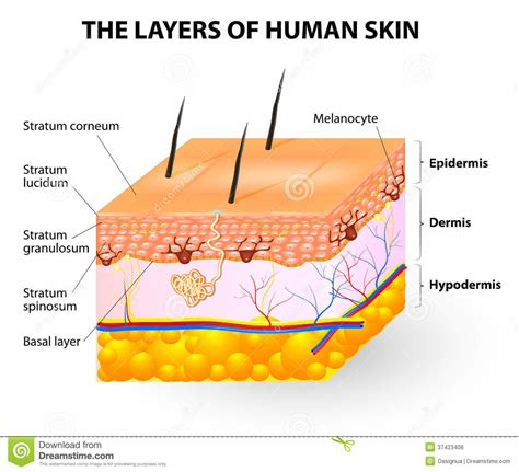 diagram human skin diagram anatomy organ