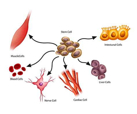 stem cells stem cells explained what are stem cells