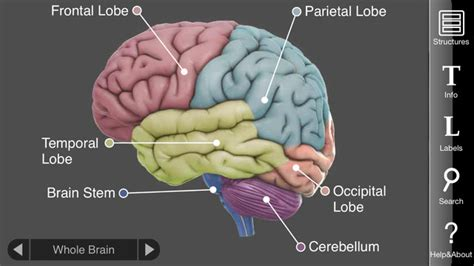 3d brain diagram 3d brain on the app store
