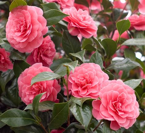 ongoing photo by tim bray 183 fotd april 10 camellias