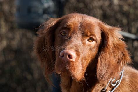 irish setter dog time irish setter dog stock image image of head look nice