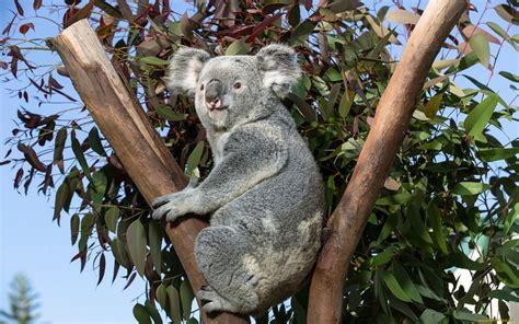 koala windows  theme themepackme
