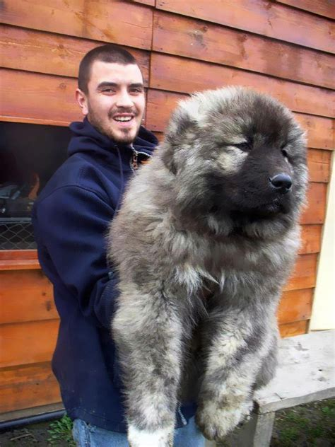 caucasian shepherd puppy 15 dogs that look like teddy bears bored panda