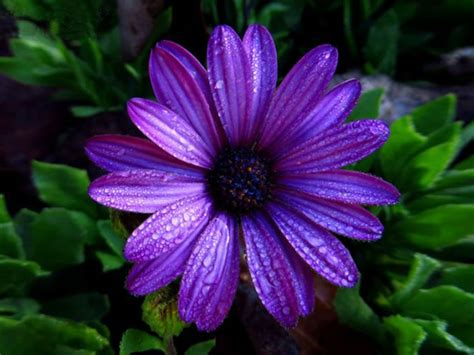 aster flower dark purple color  water droplets full hd