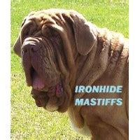 yorkie poo puppies for sale in evansville indiana search locally for neapolitan mastiff breeders nearest you freedoglistings page 2