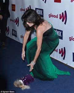 jiggy pomeranian vanderpump s jiggy falls flat on his the poor pup is not used to