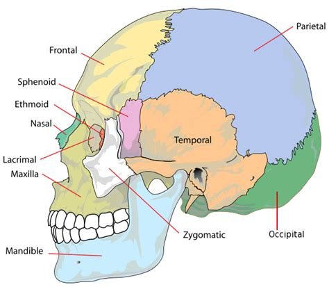 skull diagram frontal skull diagram frontal free engine image for user