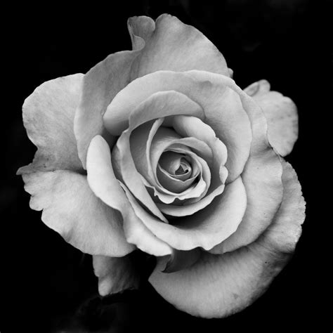black n white rose tattoos traditional drawing search ideas