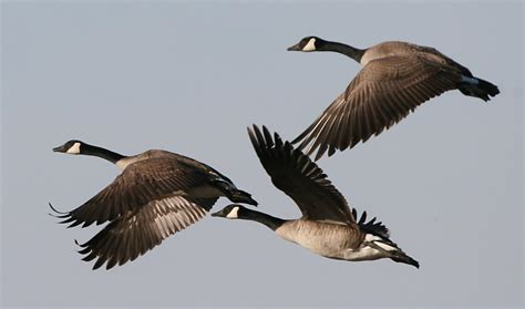 images of geese why canada geese like to spend the winter in northern