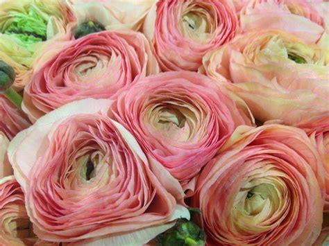 fiori ranuncoli ranuncolo le variet 224 pi 249 e originali lombarda flor