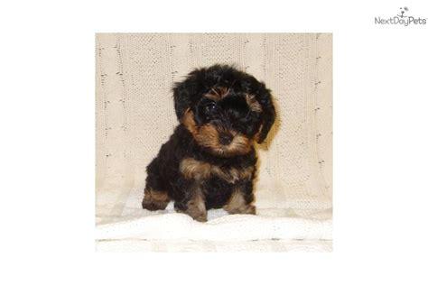 yorkie poo iowa yorkiepoo yorkie poo puppy for sale near sioux city iowa 32d7b647 3e41