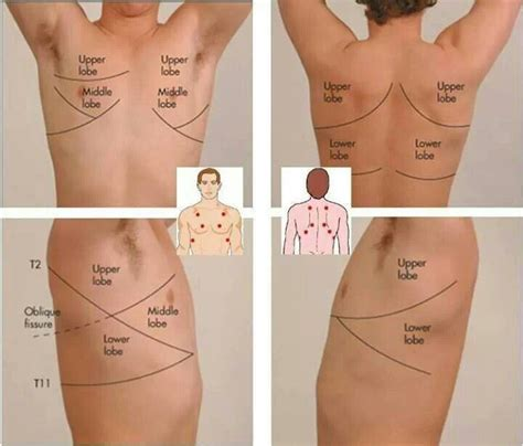 where are your lungs located in your diagram lung location in your back lung get free image about