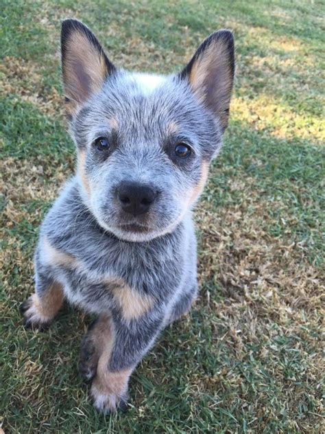 heeler puppies blue heeler puppy aww