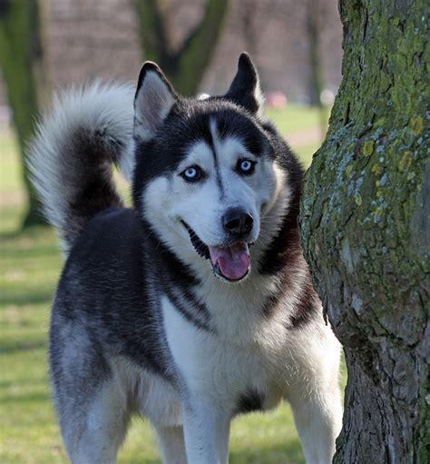 lobo haircut husky siberiano caracteristicas fotos y videos