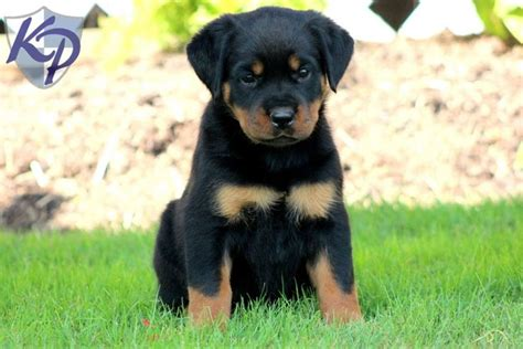 rottweiler husky mix puppies for sale m 225 s de 25 ideas incre 237 bles sobre cachorros rottweiler en venta en