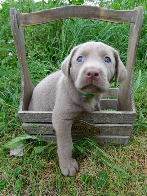 silver lab puppies for sale mn 17 of 2017 s best labrador puppies for sale ideas on labrador pups for