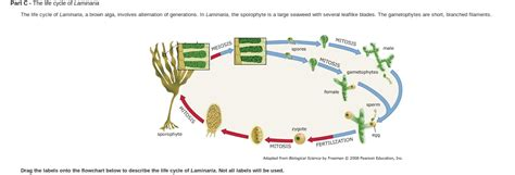 cycle of laminaria flowchart solved the cycle of laminaria the cycle of lami