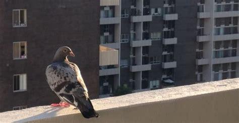 come scacciare i piccioni dal terrazzo come allontanare i piccioni dal balcone in modo naturale