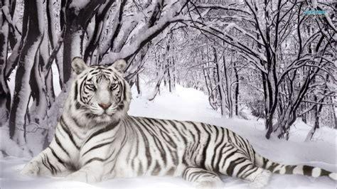 gambar harimau putih  sangar gambarnya gambar